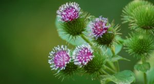 Burdock - Invasive Species Management by Wilderness Stewardship Foundation